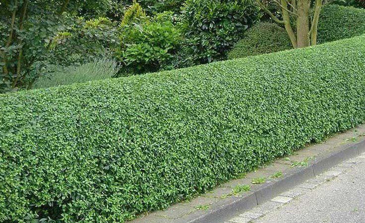 Во бибиревских дворах высадят 2 тыс. кустов кизильника